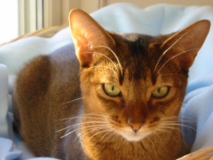 katt för allergiker